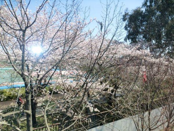 楽屋桜1.jpg